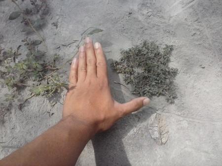 Krokot liar yang tumbuh di trotoar seringkali tidak lebih dari telapak tangan.