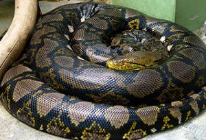 320px-Python_reticulatus