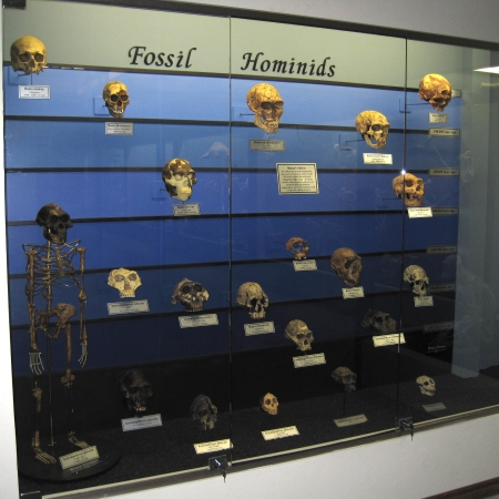 fossil_hominids
